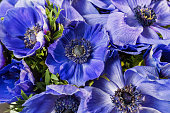 Closeup of a blue and magenta gradient poppies anemones. Many flowers - great background.