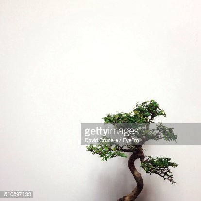 Close-up of a bonsai tree over white background