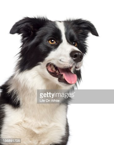 Close-up of a Border Collie