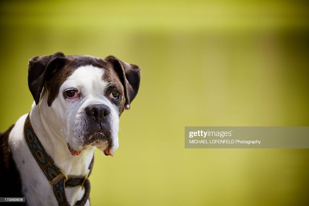 Close-up of a boxer dog infront of the lake : Stock Photo