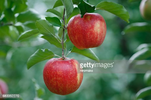 Closeup of a branch with fresh red apples : Stock Photo