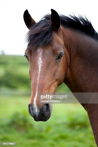 A close-up of a brown horse's face in front of a field