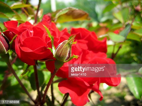 Close-up of a bud and red opened roses in a garden