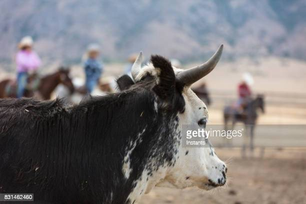 Close-up of a bull on a ranch with out of focus cowgirls and cowboys in the background.