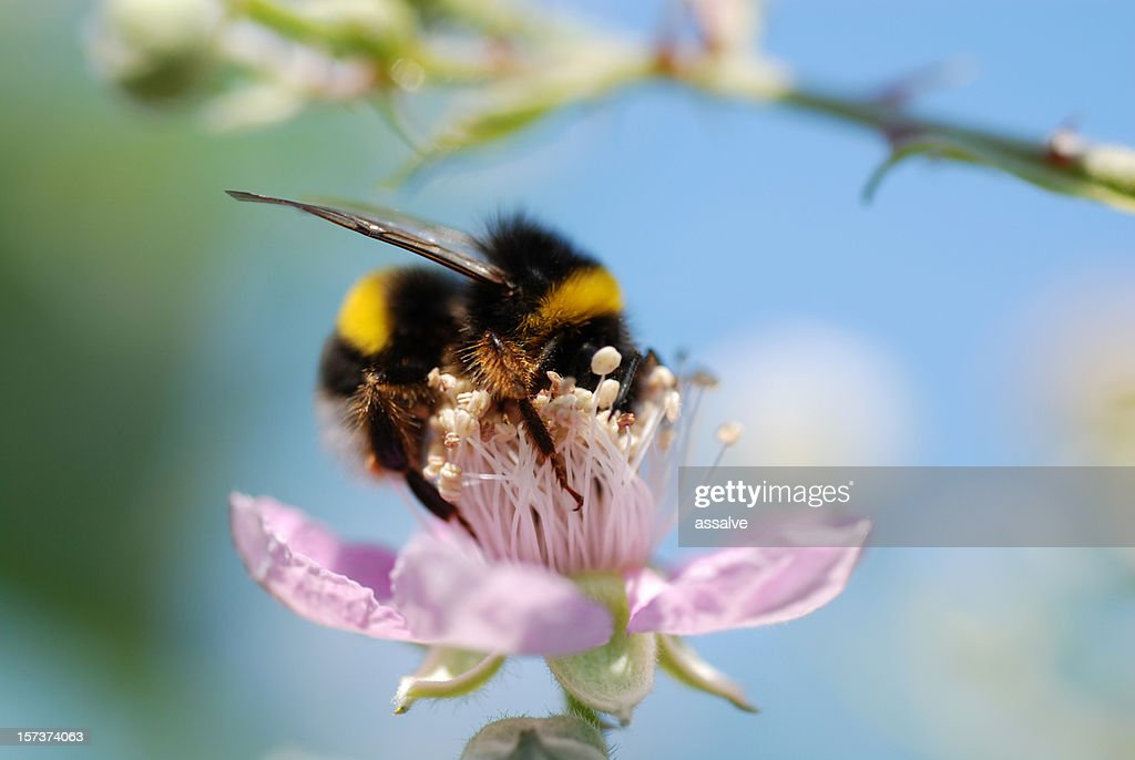 Close-up of a bumblebee collecting pollen from a pink flower