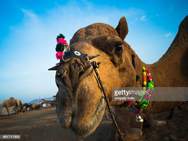 Close-up of a camel at Pushkar Camel Fair, Pushkar, Ajmer, Rajasthan, India