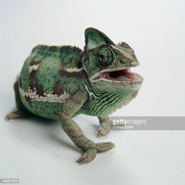 Close-up of a Chameleon Opening his Mouth