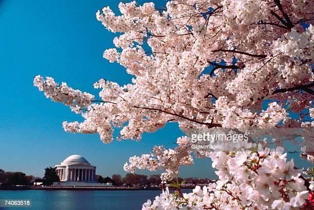 Close-up of a cherry blossom tree, Jefferson Memorial, Washington DC, USA