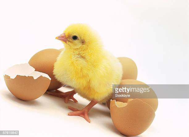 close-up of a chick coming out of a cracked egg