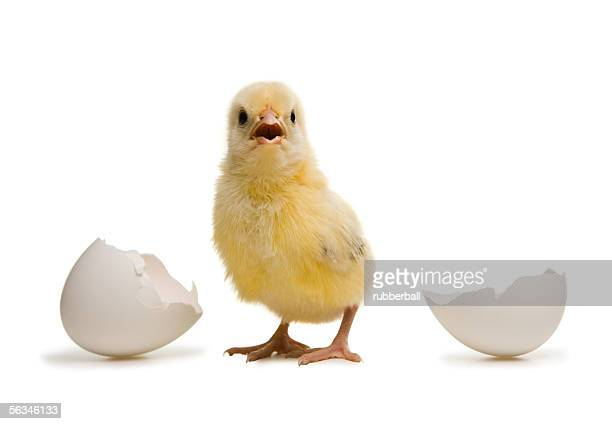 Close-up of a chick standing away from broken eggshell
