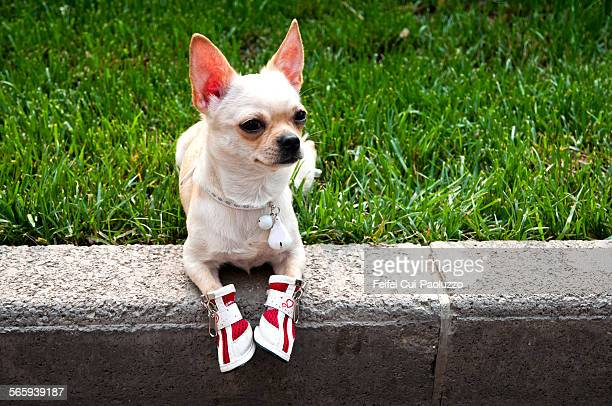 A dog wears shoes at Beijing China