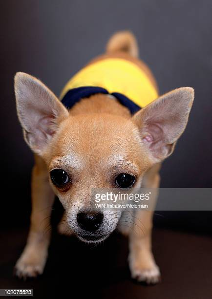 Close-up of a Chihuahua puppy in yellow shirt