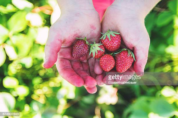 Close-up of a child's hands holding strawberries