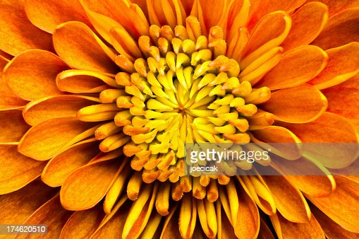 Closeup of a chrysanthemum centered in the frame