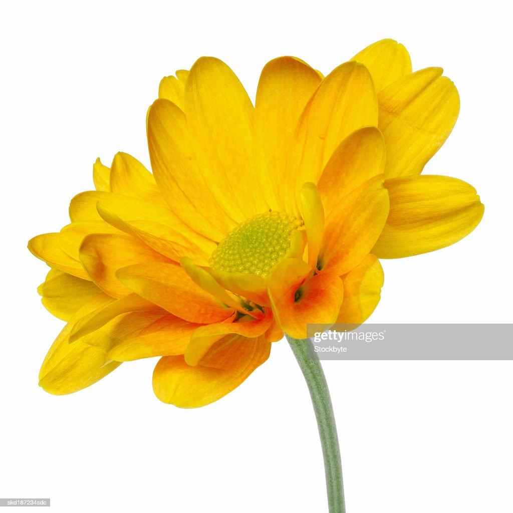close-up of a chrysanthemum : Stock Photo