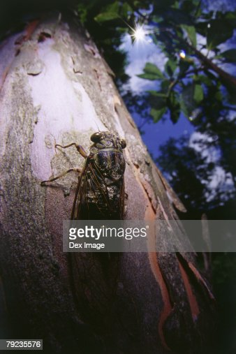 Close-up of a cicada camouflaged on a tree trunk : Stock Photo
