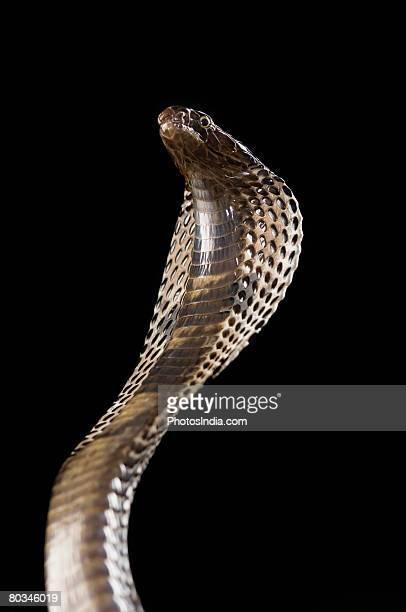 Close-up of a cobra rearing up