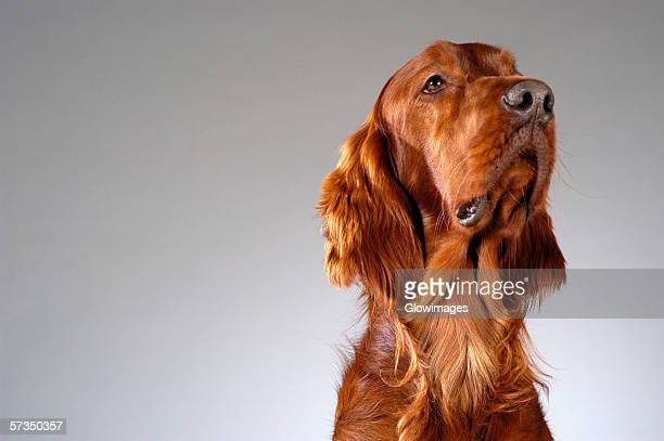 Close-up of a Cocker Spaniel's looking up