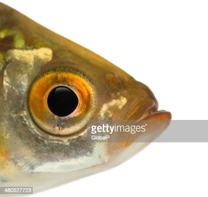Close-up of a Common roach's head, isolated : Stock Photo