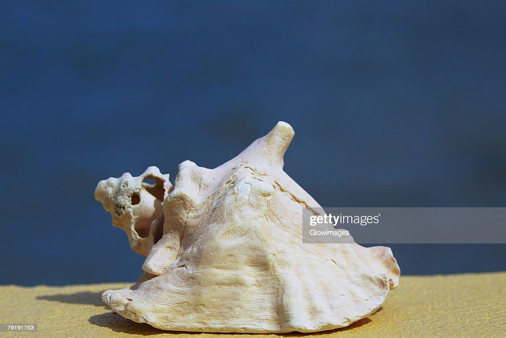 Close-up of a conch shell, Providencia y Santa Catalina, San Andres y Providencia Department, Colombia : Foto de stock
