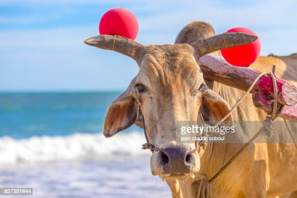 Close-up of a cow, used as a taxi on cambinh beach (Vietnam
