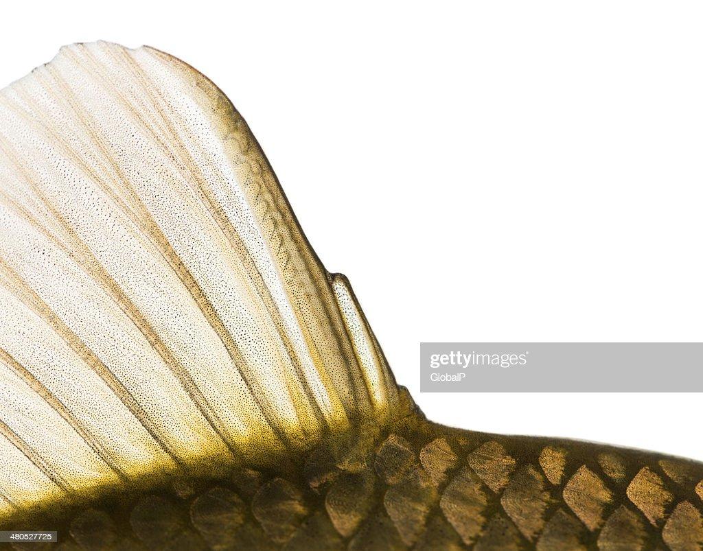 Close-up of a Crucian carp caudal fin : Stock Photo