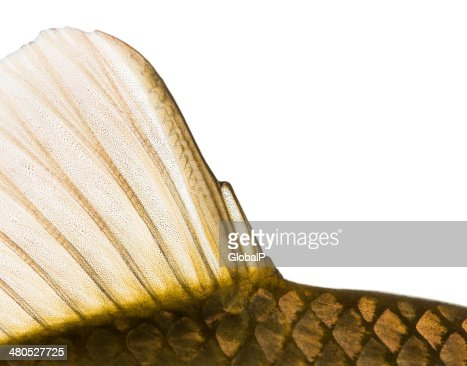 Close-up of a Crucian carp caudal fin : Stock Photo