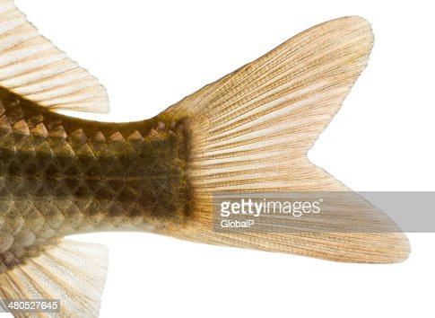 Close-up of a Crucian carp's caudal fin : Stock Photo
