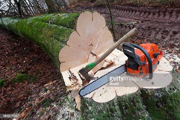 Close-up of a cut down tree with a saw and ax on the trunk