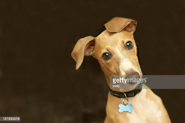 Close-up of a cute Italian greyhound with bone collar belt