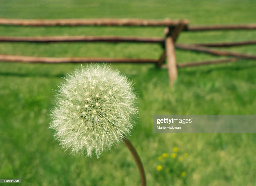 Close-up of a dandelion seeds with downy tufts in : Stock Photo