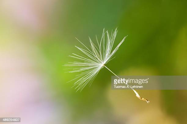 Closeup of a Dandelion's seed head floating in air