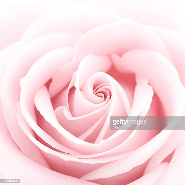 A close-up of a delicate pink rose