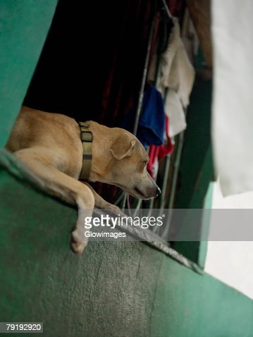 Close-up of a dog lying on a window, Old Panama, Panama City, Panama : Foto de stock