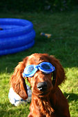 Close-up of a dog wearing swimming goggle