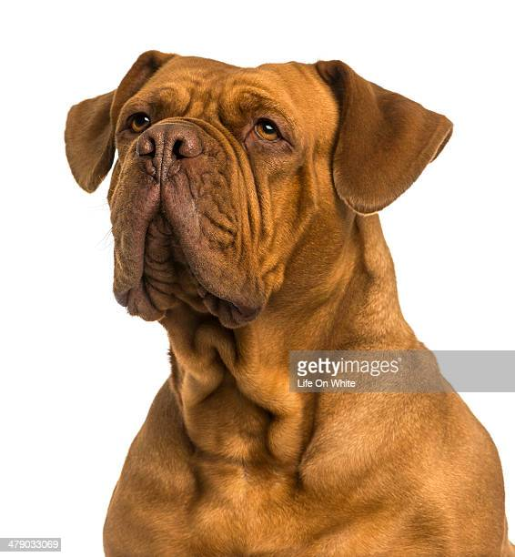 Close-up of a Dogue de Bordeaux looking away