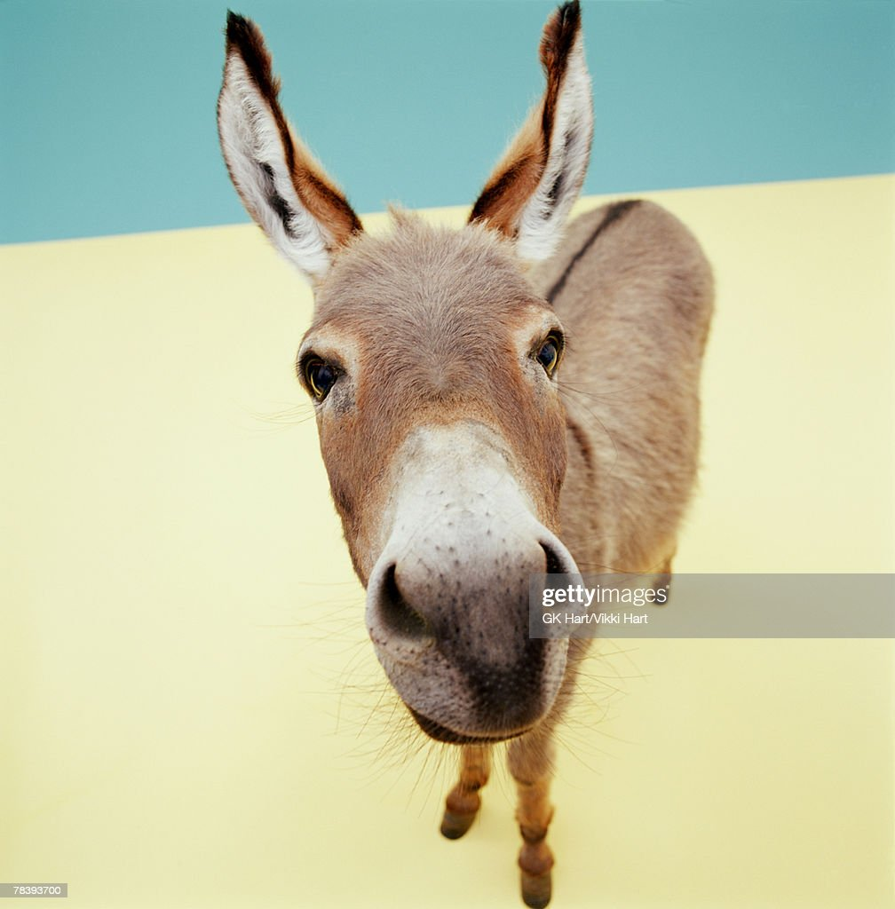 Closeup of a donkey : Stock Photo
