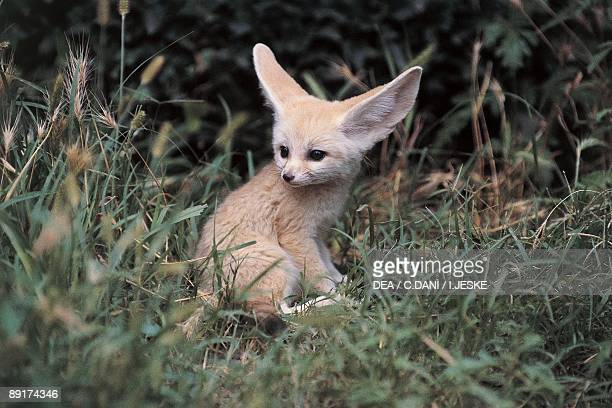 Closeup of a Fennec fox