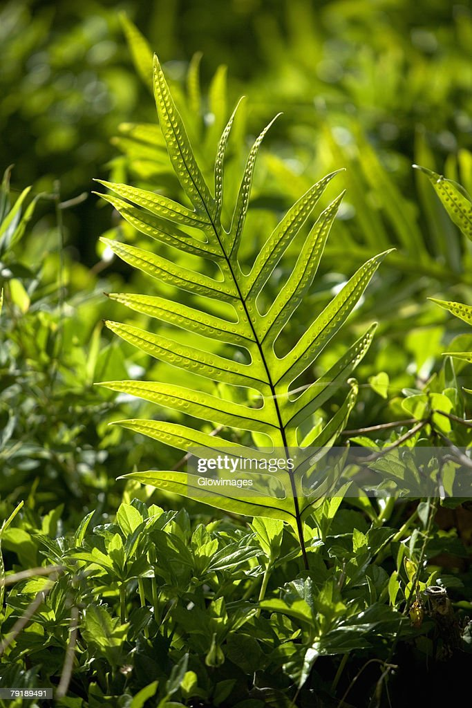 Close-up of a fern, Nawiliwili Beach Park, Kauai, Hawaii Islands, USA : Foto de stock
