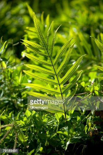 Close-up of a fern, Nawiliwili Beach Park, Kauai, Hawaii Islands, USA : Foto de stock