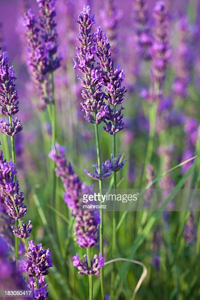Close-up of a field of lavenders