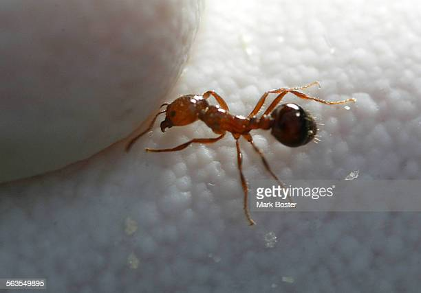 –Closeup of a fire ant on the glove of Charlie Cassidy Field Operations Manager with the Orange County Fire Ant Authority Orange County Vector...