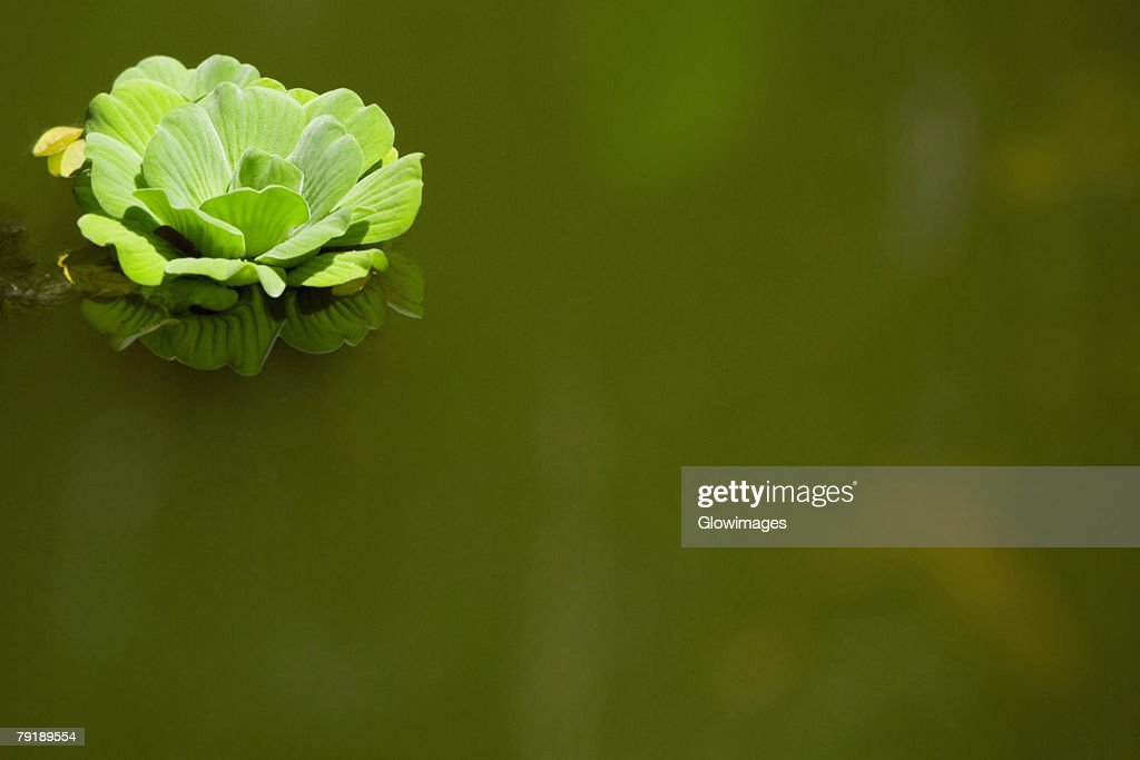 Close-up of a flower on the water surface, Hawaii Tropical Botanical Garden, Hilo, Big Island, Hawaii Islands, USA : Stock Photo