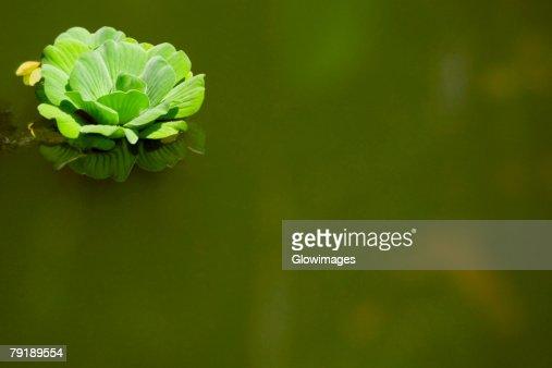 Close-up of a flower on the water surface, Hawaii Tropical Botanical Garden, Hilo, Big Island, Hawaii Islands, USA : Foto de stock