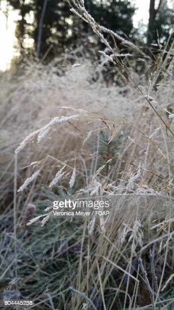 Close-up of a frozen grass