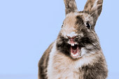 Close-up of a funny Rabbit against a blue background