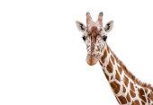 Closeup of a Giraffe on white background
