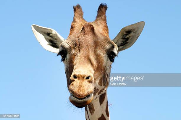 Closeup of a giraffe's face and head
