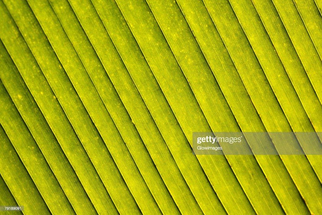 Close-up of a green leaf in a botanical garden, Hawaii Tropical Botanical Garden, Hilo, Big Island, Hawaii Islands, USA : Stock Photo