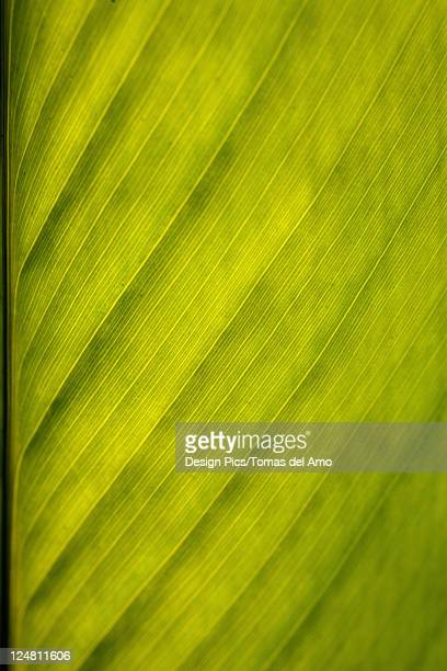Close-up of a green leaf, stem and veins create a pattern.